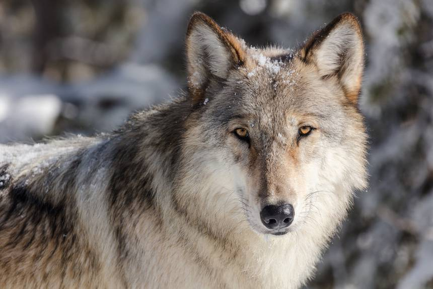 Alberta's Been Poisoning its Wolves