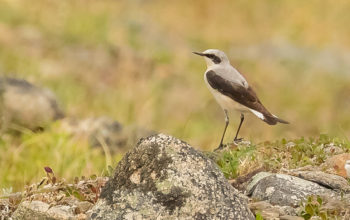 Wheatears Well on Their Way to Visit Zebras