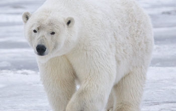 Polar Bears Turn to New Food Source.. Plastic